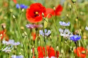 alpine-cornflower-3431590_960_720